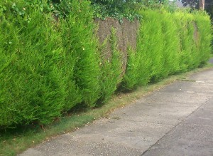 Hedge Removal Alford Panel fence landscaping